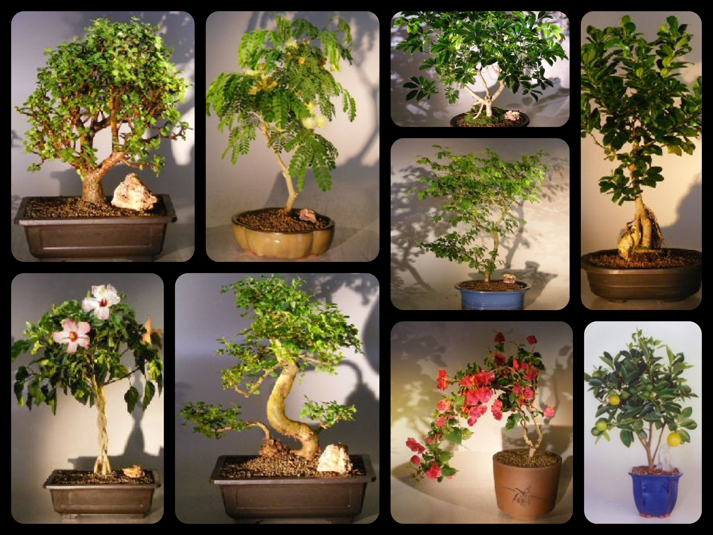 Herald Good Fortune & Happiness | Gift a Bonsai Tree
